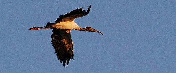 Wood Stork in flight by David J. Ringer