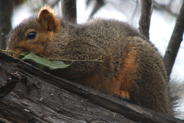 eastern fox squirrel sciurus - photo #38