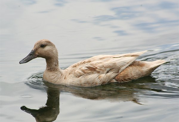 How to Tell the Difference Between Male and Female Ducks