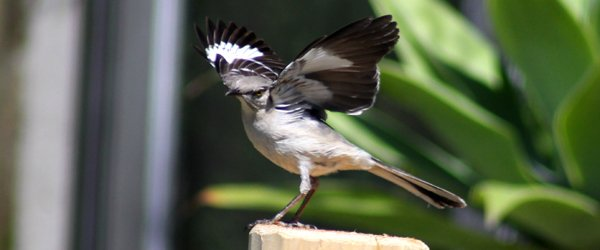 Learn about the mysterious mockingbird victory dance …