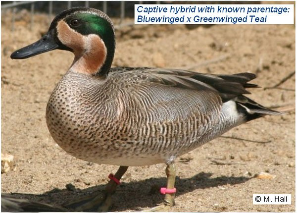 Image result for green winged teal x blue wing teal hybrid