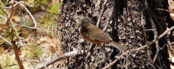 Colima Warbler, Oreothlypis crissalis