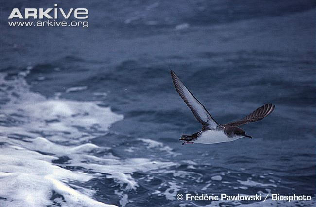 ARKive photo - Yelkouan shearwater flying over surface of water