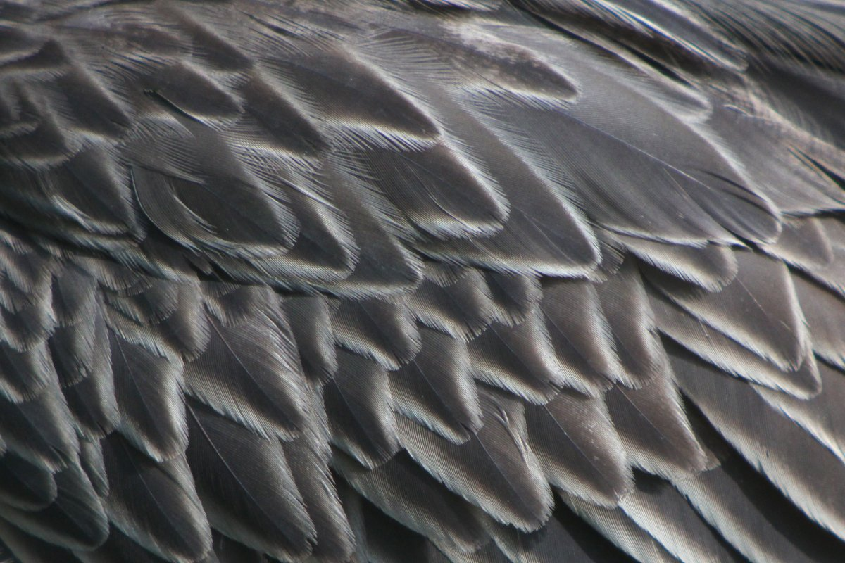 10,000 Birds | Yellow-crowned Night Heron