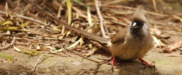 Speckled Mousebird, Colius striatus