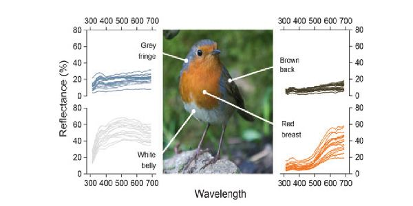 European Robin Study of Breast Color