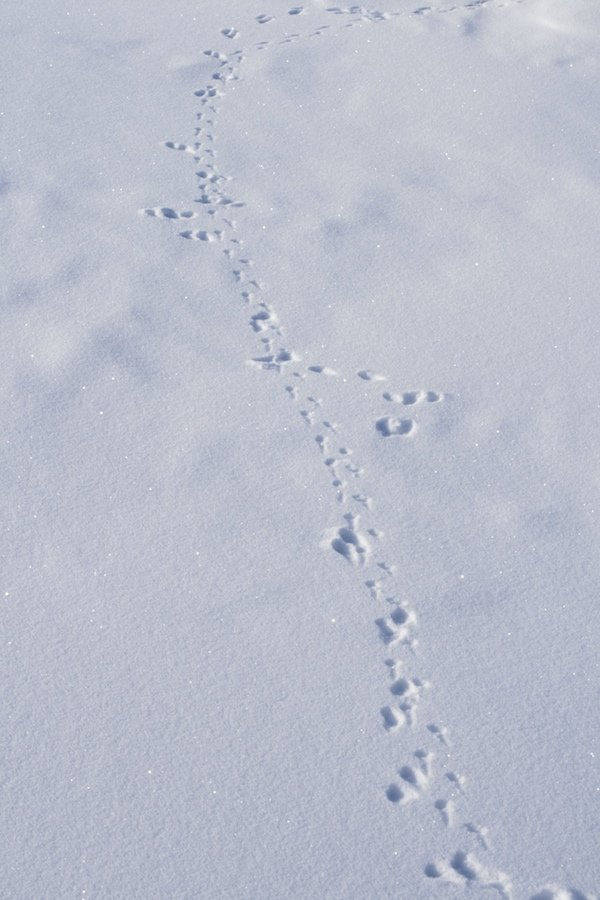 Lemming and Ermine tracks in the snow