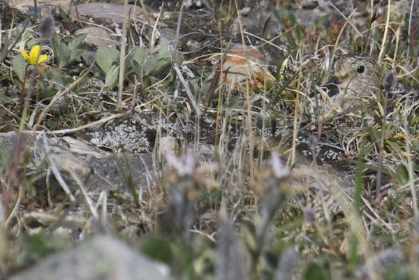 Baird's Sandpiper on nest
