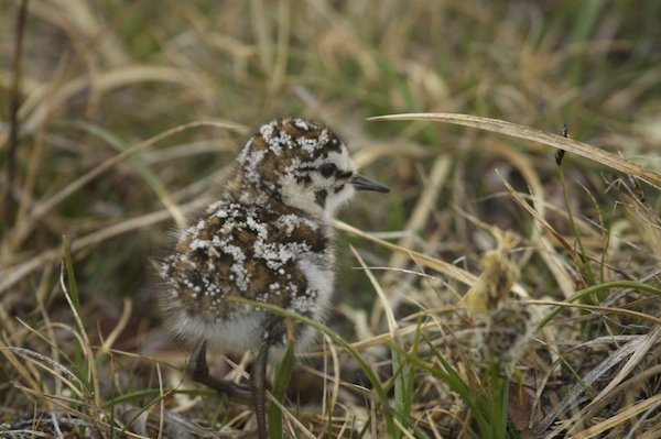Baird's Sandpiper chick