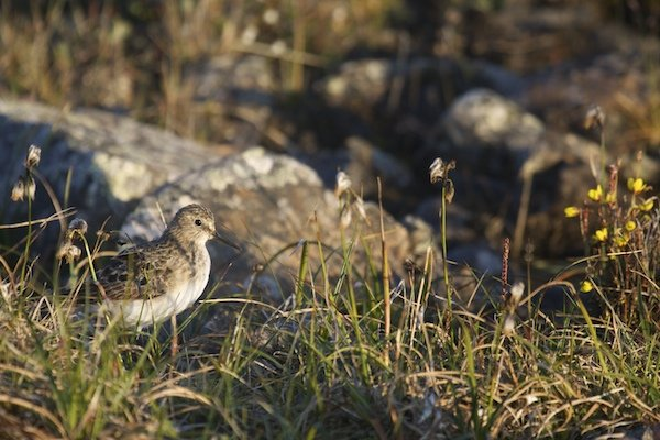 Evening light Baird's Sandpiper