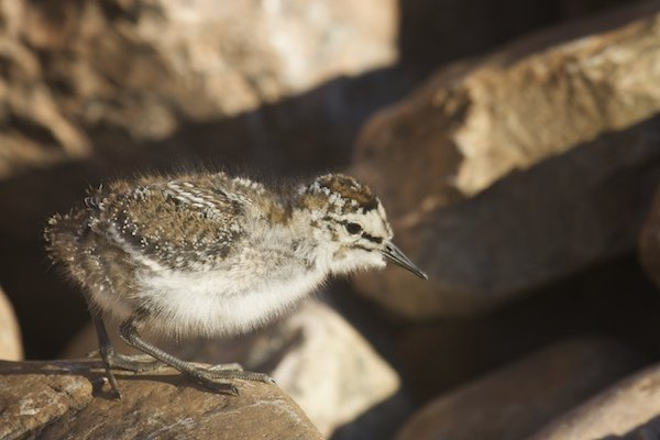 Baird's chick in boulder field.