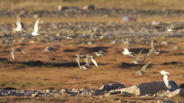 Flock of Baird's Sandpiper in flight.