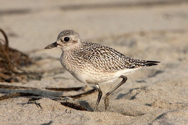 Black-bellied (Grey) Plover, Pluvialis squatarola