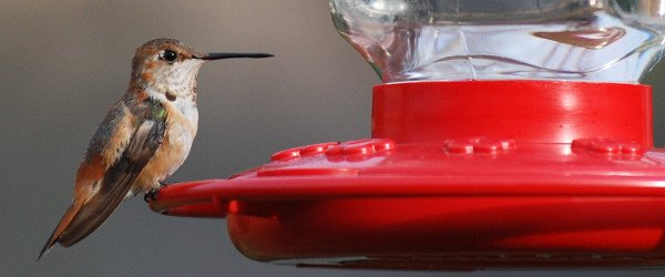 Rufous Hummingbird, David J. Ringer
