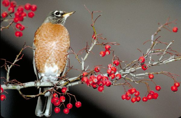 American Robin w/ berries by Thomas G. Barnes