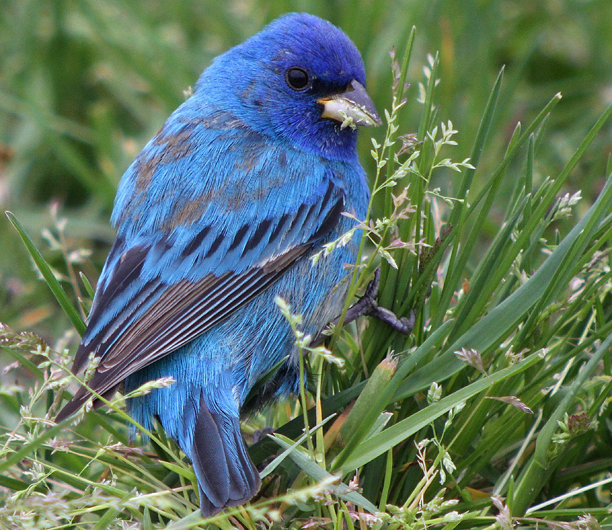 Indigo Bunting 10,000 Birds In...