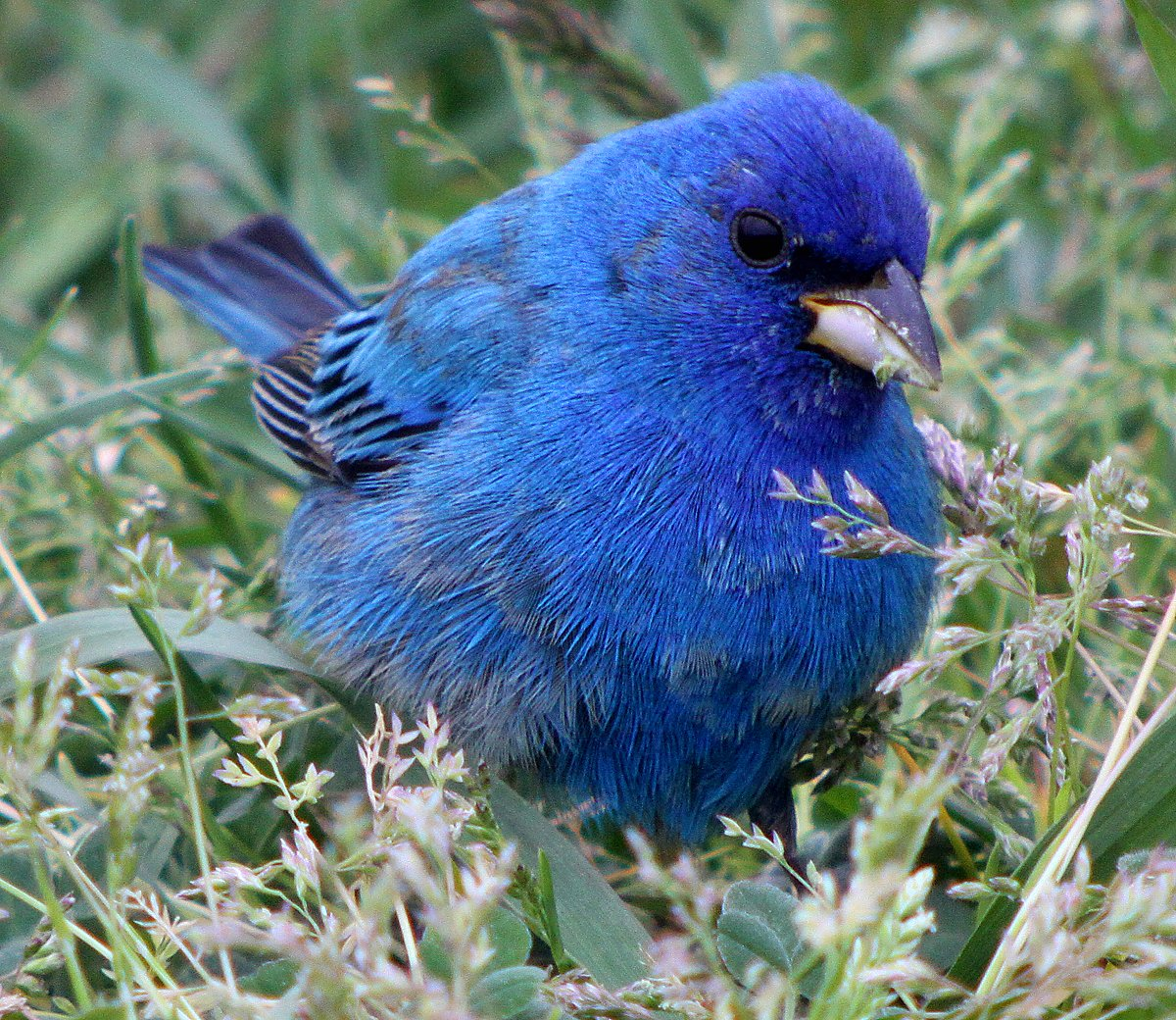 Indigo Bunting What's your...
