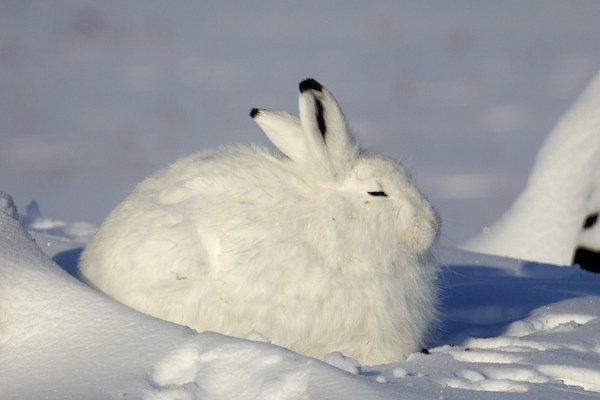 Sleepy Arctic Hare