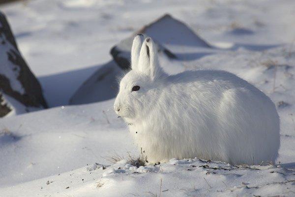 Feeding Arctic Hare