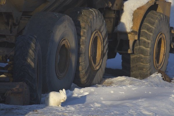 Urban Arctic Hare