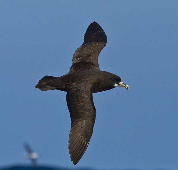 White-chinned Petrel off Cape Point