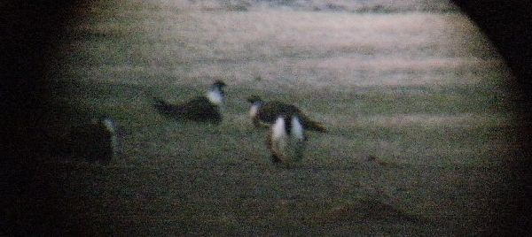 Three male Sage Grouse on lek