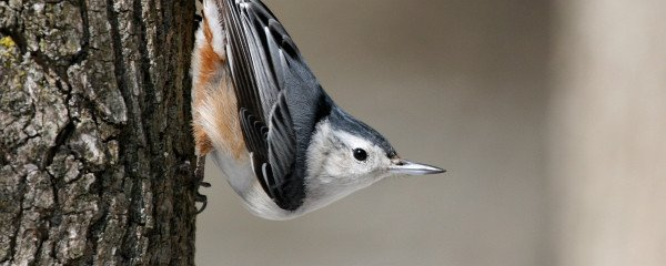 White-breasted Nuthatch by Matt MacGillivray