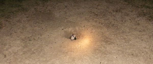 Black-footed ferret looks out of prairie dog burrow