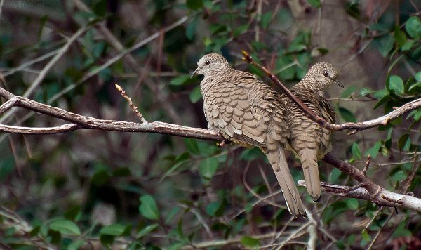 Inca Doves by triggzBb