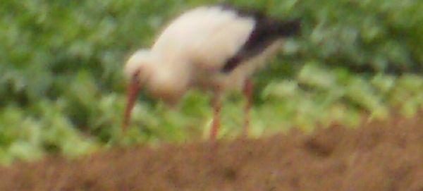 white stork feeding
