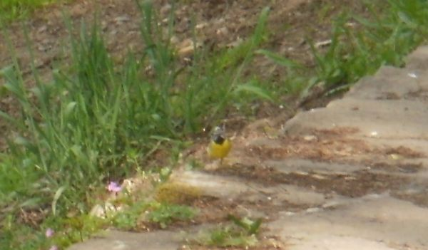 mystery passerine 2 - hint, this one's a wagtail