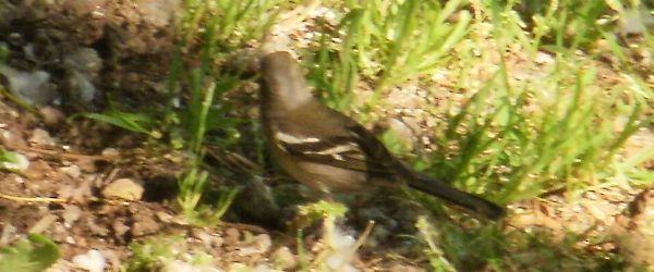 mystery passerine