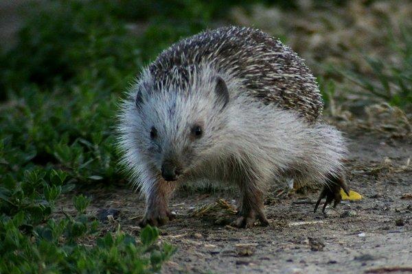 Northern White-Breasted Hedgehog
