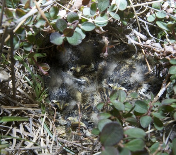 Lapland Longspur nestlings