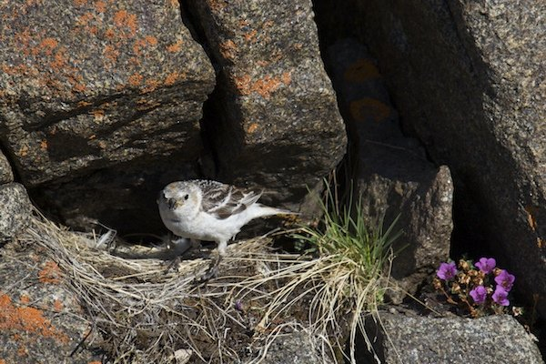 Snow Bunting at nest
