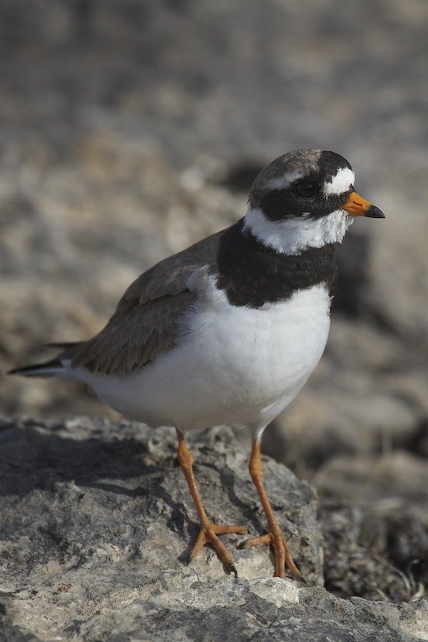 Common Ringed Plover male