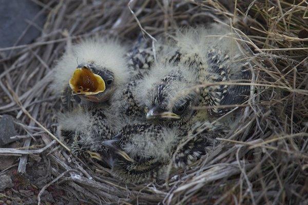 Horned Lark nestlings