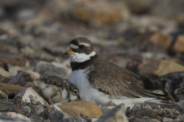Chick tucking in to the feathers of a Common Ringed Plover