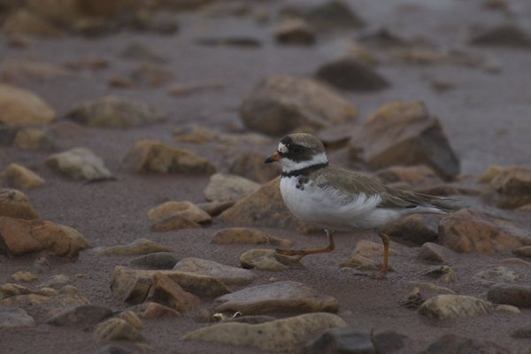 Female Semipalmated Plover