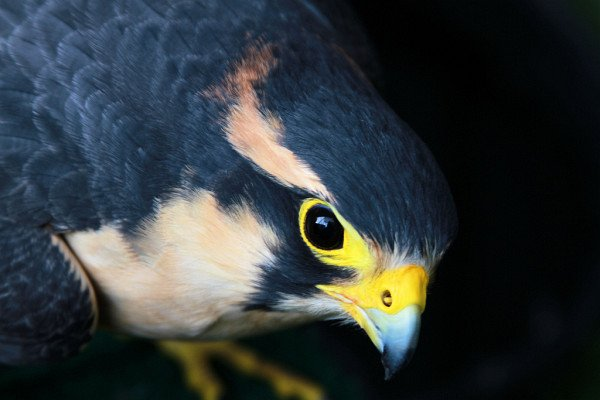 Aplomado Falcon by Jon David Nelson