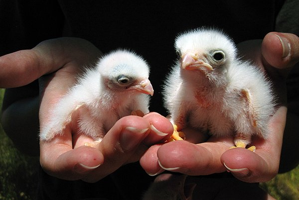 10 000 Birds A Bird In The Hand American Kestrels