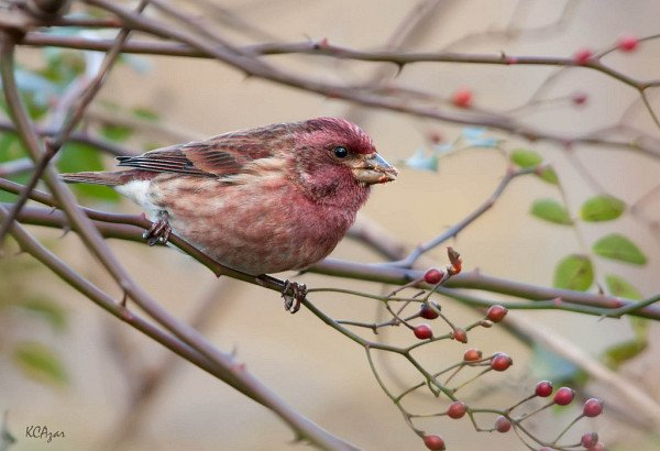 Purple Finch by Kelly Colgan Azar
