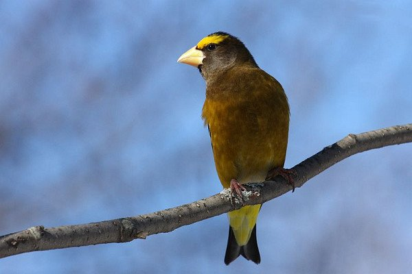 Evening Grosbeak cc-by-sa Simon Pierre Barrette