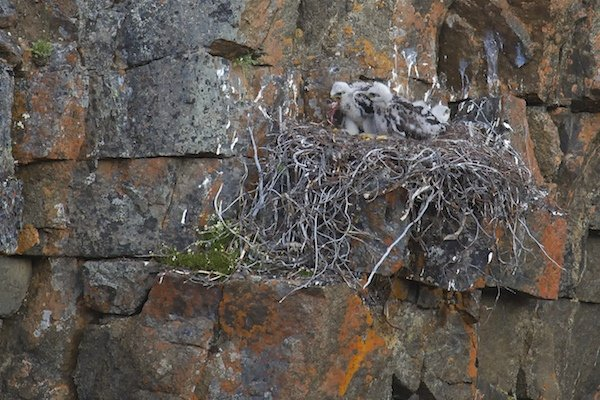 Rough-legged Hawk chicks eating a lemming
