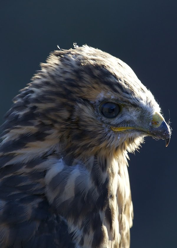 Rough-legged Hawk Portrait