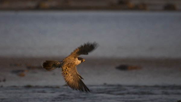 A Peregrine Falcon on take off