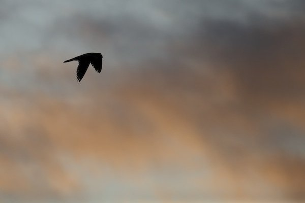 Peregrine at sundown