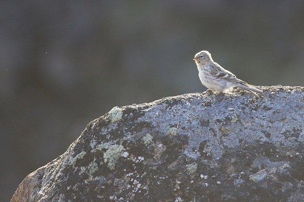 Juvenile Hoary Redpoll