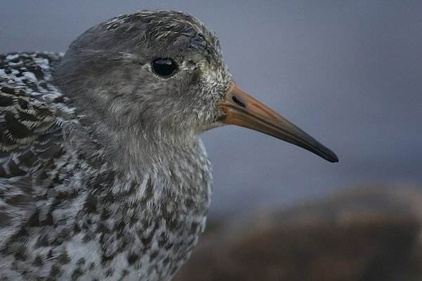 Portrait of a Purple Sandpiper