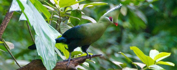 Livingstone's Turaco by Dean Croshere